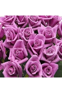 50 Long Stem Lavender Roses