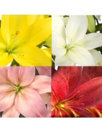 50 Assorted Asiatic Lilies