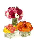 40 Assorted Gerber Daisies