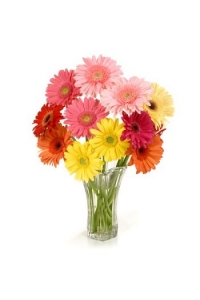 40 Assorted Gerber Daisy
