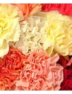 400 Fresh Cut Carnations