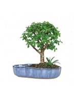 Dwarf Jade in Water Pot