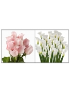 75 Light Pink Roses with 30 White Callas