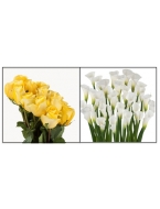 75 Yellow Roses with 30 White Callas