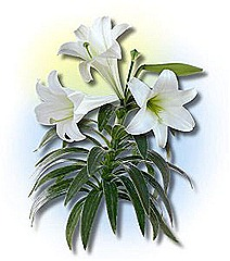 easter_lily1