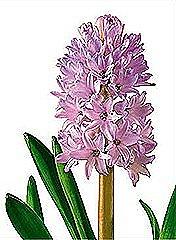 hyacinth_thumb2