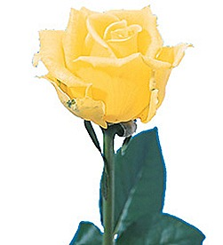 Buy Yellow Roses